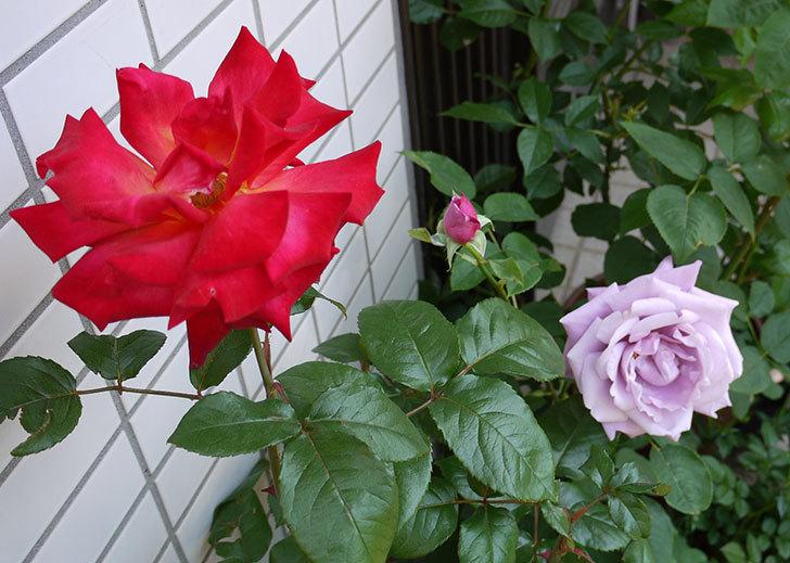 アイスバーグ(バラ)の蕾が膨らんできた。2015年-6.jpg