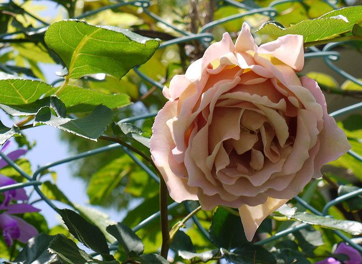 アイスバーグ(バラ)の蕾が膨らんできた。2015年-7.jpg