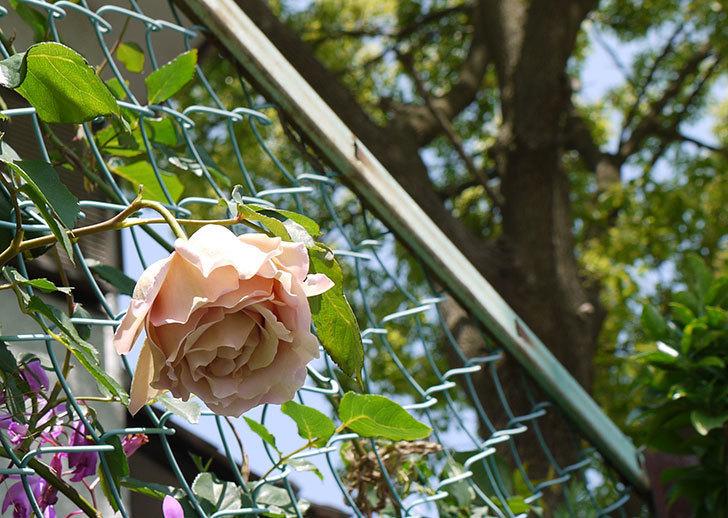 アイスバーグ(バラ)の蕾が膨らんできた。2015年-8.jpg