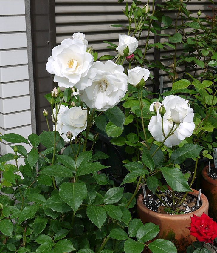 アイスバーグ(木立バラ)がたくさん咲いた。2017年-2.jpg