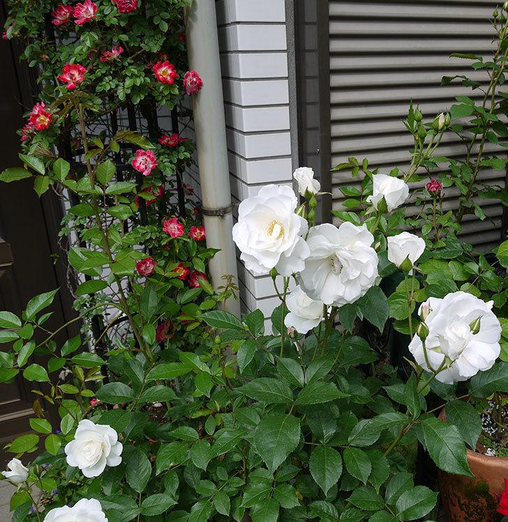 アイスバーグ(木立バラ)がたくさん咲いた。2017年-4.jpg