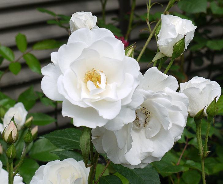 アイスバーグ(木立バラ)がたくさん咲いた。2017年-6.jpg