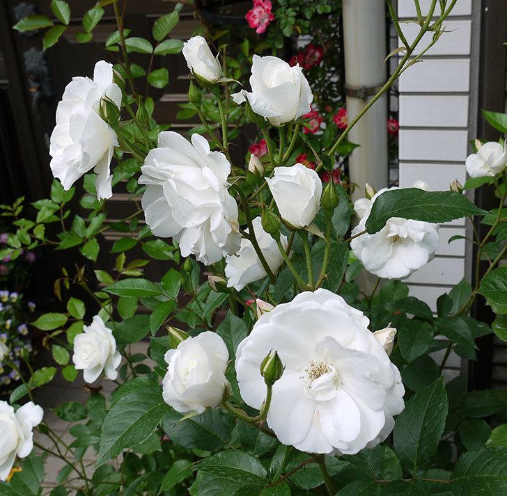 アイスバーグ(木立バラ)がたくさん咲いた。2017年-7.jpg