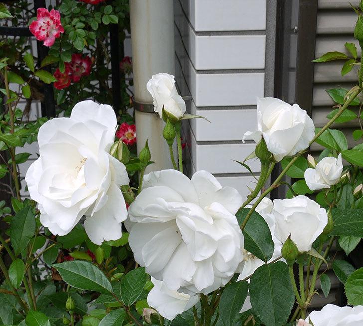 アイスバーグ(木立バラ)がたくさん咲いた。2017年-8.jpg