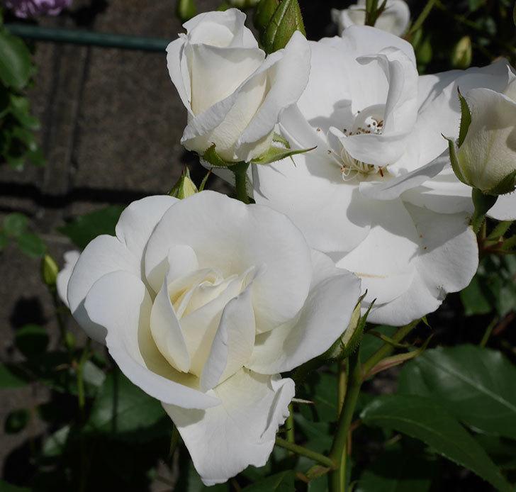 アイスバーグ(木立バラ)が咲いた。2018年-11.jpg