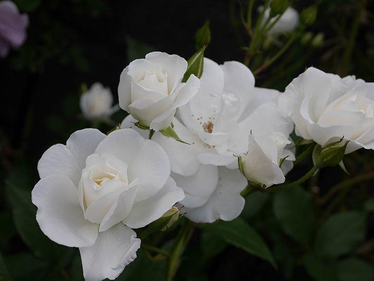 アイスバーグ(木立バラ)が咲いた。2018年-13.jpg