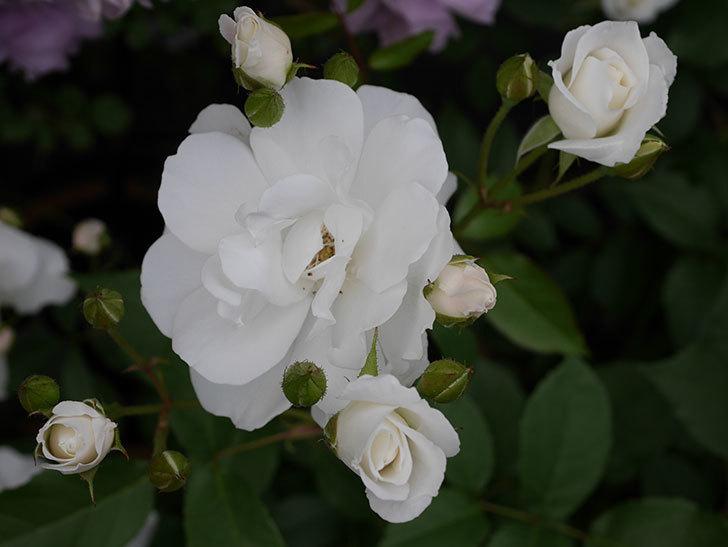 アイスバーグ(木立バラ)が咲いた。2018年-14.jpg