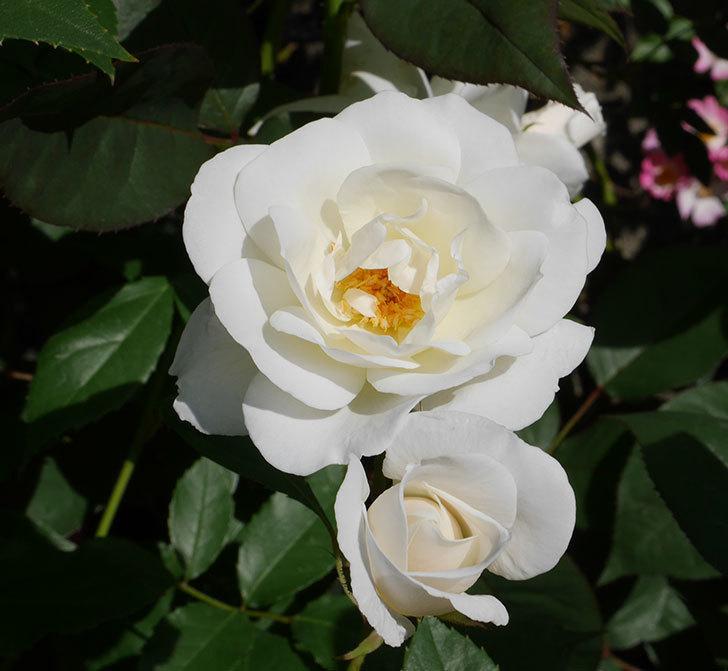 アイスバーグ(木立バラ)が咲いた。2018年-6.jpg