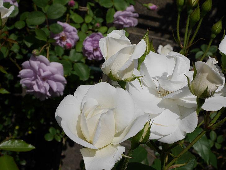 アイスバーグ(木立バラ)が咲いた。2018年-7.jpg