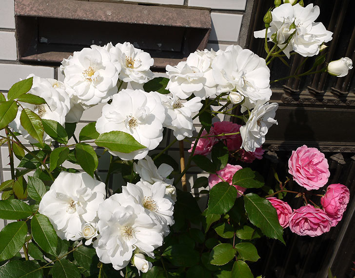 アイスバーグ(木立バラ)が満開になった。2016年-4.jpg