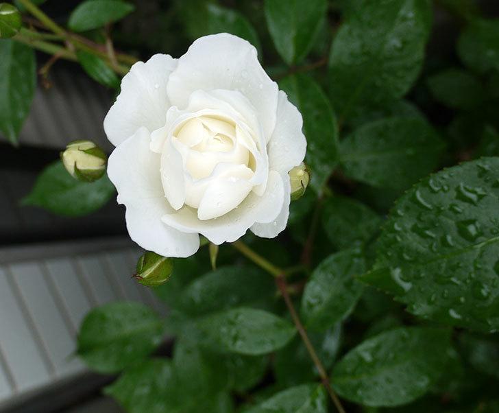 アイスバーグ(木立バラ)が綺麗に咲いた。2017年-4.jpg