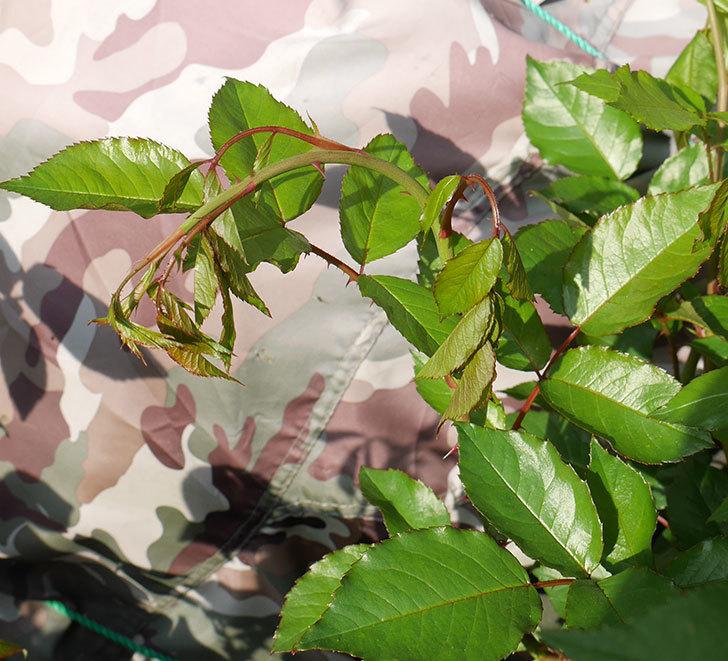 アイスバーグ(木立バラ)にきたバラクキバチを捕獲したけど4本やられた後だった。2018年-9.jpg