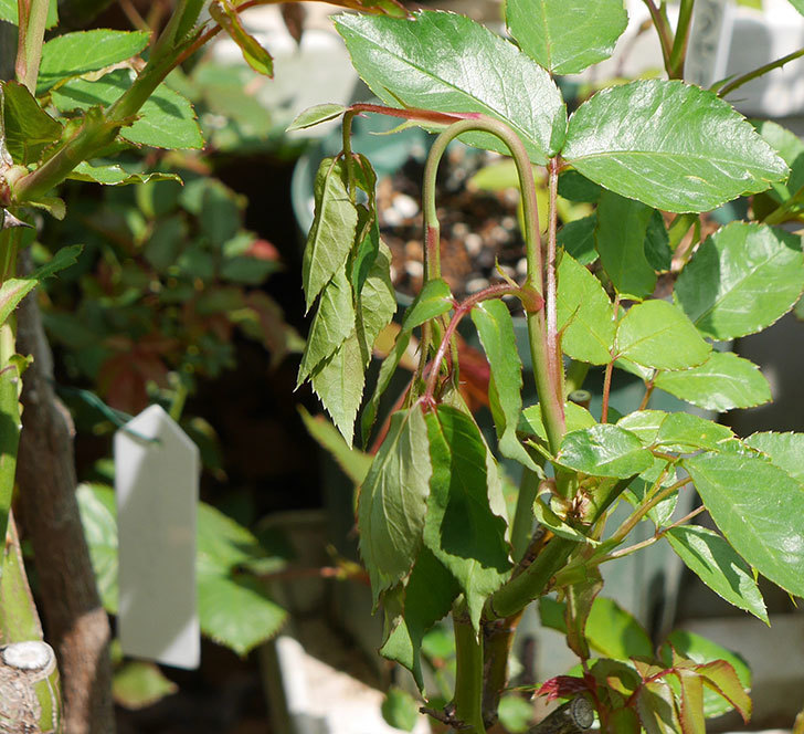 アイスバーグ(木立バラ)の新芽が2本バラクキバチにやられて萎れてしまった。2018年-1.jpg