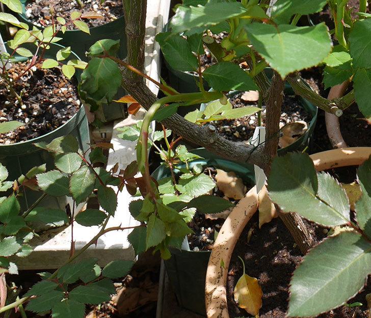 アイスバーグ(木立バラ)の新芽が2本バラクキバチにやられて萎れてしまった。2018年-2.jpg