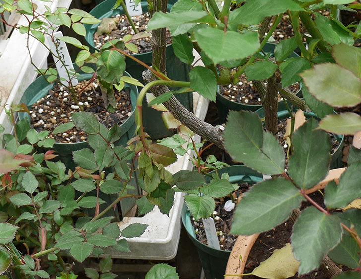 アイスバーグ(木立バラ)の新芽が2本バラクキバチにやられて萎れてしまった。2018年-3.jpg