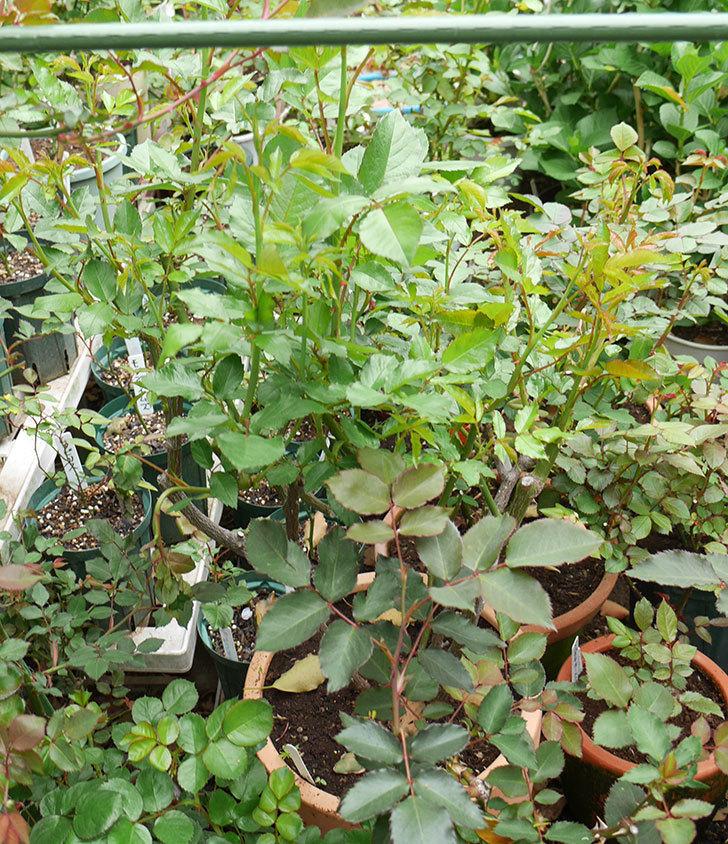 アイスバーグ(木立バラ)の新芽が2本バラクキバチにやられて萎れてしまった。2018年-4.jpg