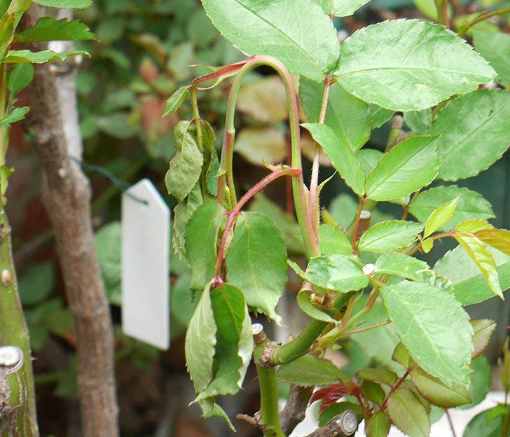 アイスバーグ(木立バラ)の新芽が2本バラクキバチにやられて萎れてしまった。2018年-5.jpg