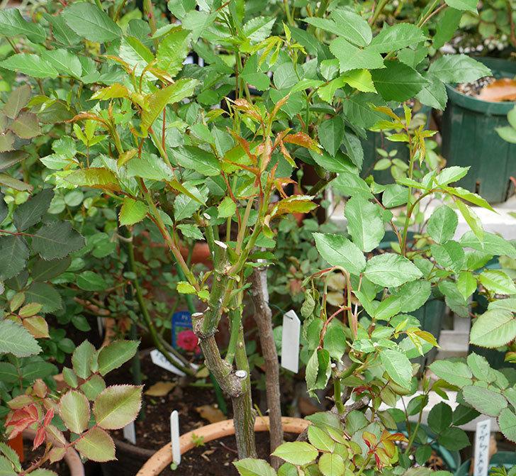 アイスバーグ(木立バラ)の新芽が2本バラクキバチにやられて萎れてしまった。2018年-6.jpg