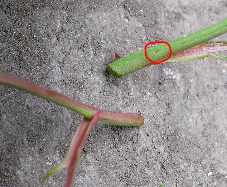 アイスバーグ(木立バラ)の新芽が2本バラクキバチにやられて萎れてしまった。2018年-8.jpg