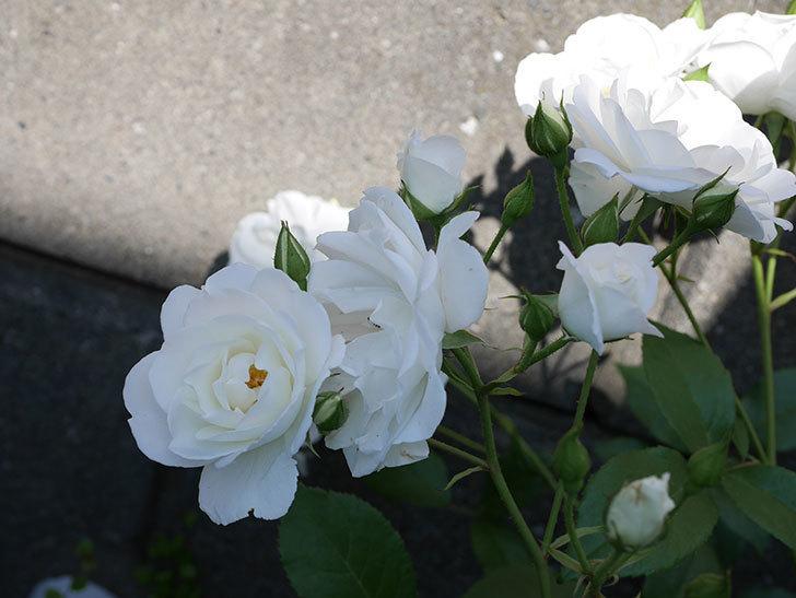 アイスバーグ(木立バラ)の花がたくさん咲いた。2019年-10.jpg