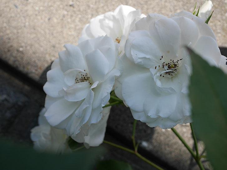 アイスバーグ(木立バラ)の花がたくさん咲いた。2019年-11.jpg