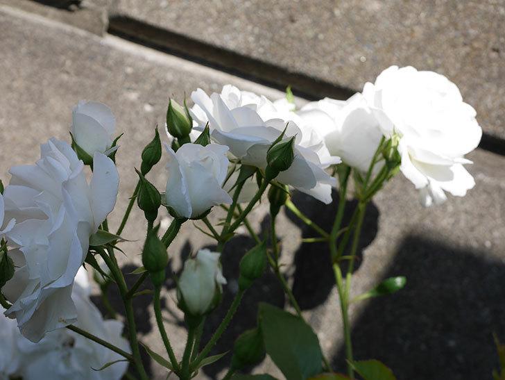 アイスバーグ(木立バラ)の花がたくさん咲いた。2019年-12.jpg