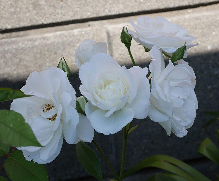 アイスバーグ(木立バラ)の花がたくさん咲いた。2019年-8.jpg