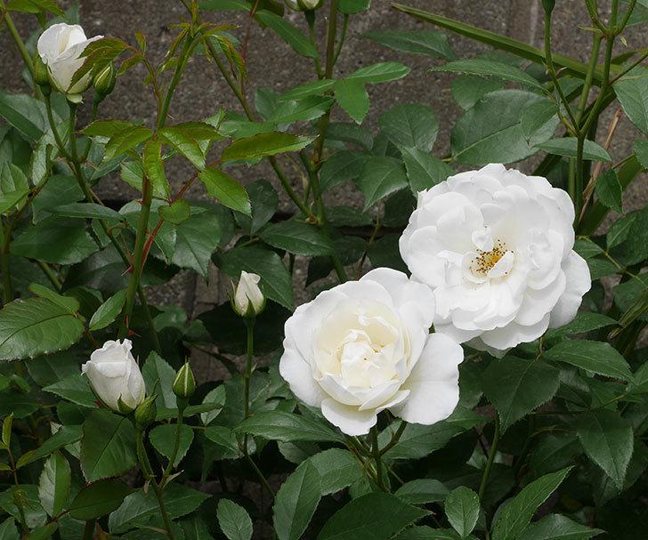 アイスバーグ(木立バラ)の花が咲いた。2019年-1.jpg