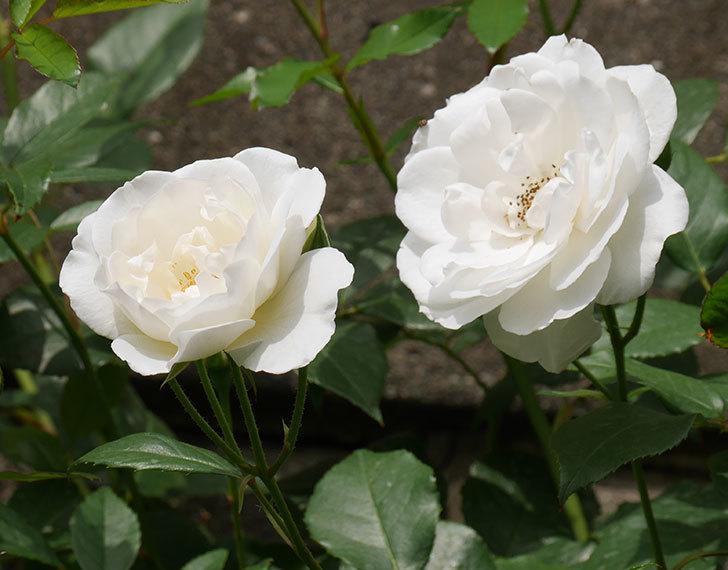アイスバーグ(木立バラ)の花が咲いた。2019年-12.jpg