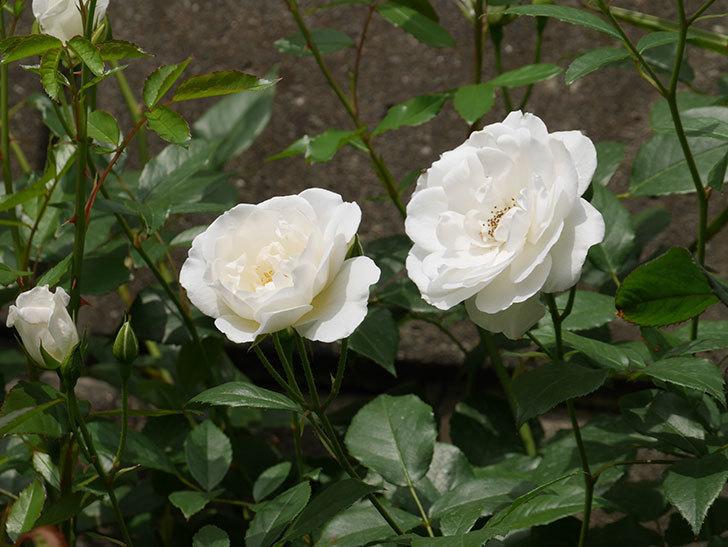 アイスバーグ(木立バラ)の花が咲いた。2019年-13.jpg