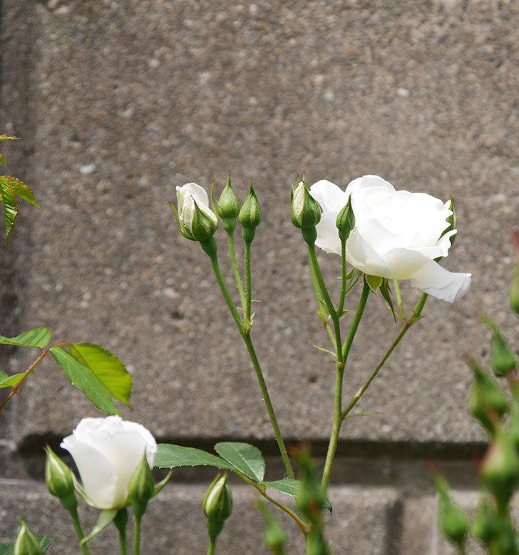 アイスバーグ(木立バラ)の花が咲いた。2019年-14.jpg