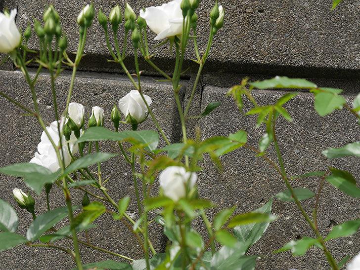 アイスバーグ(木立バラ)の花が咲いた。2019年-15.jpg