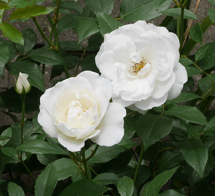アイスバーグ(木立バラ)の花が咲いた。2019年-2.jpg