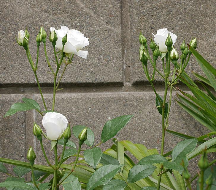 アイスバーグ(木立バラ)の花が咲いた。2019年-3.jpg