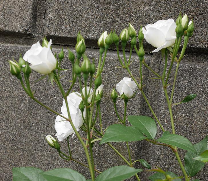 アイスバーグ(木立バラ)の花が咲いた。2019年-4.jpg