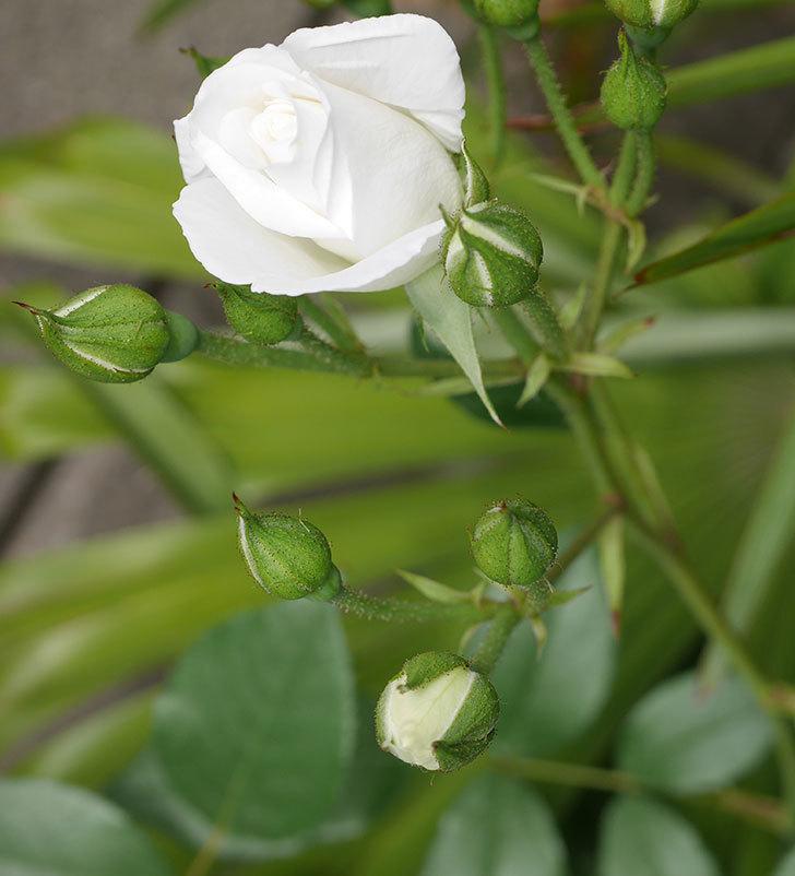 アイスバーグ(木立バラ)の花が咲いた。2019年-7.jpg