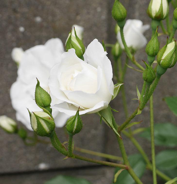 アイスバーグ(木立バラ)の花が咲いた。2019年-8.jpg