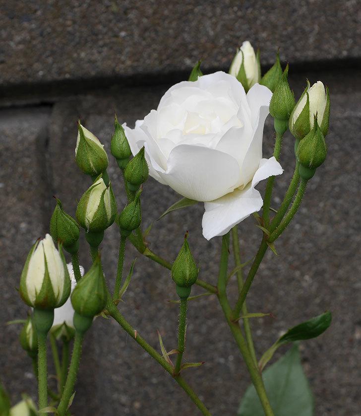 アイスバーグ(木立バラ)の花が咲いた。2019年-9.jpg