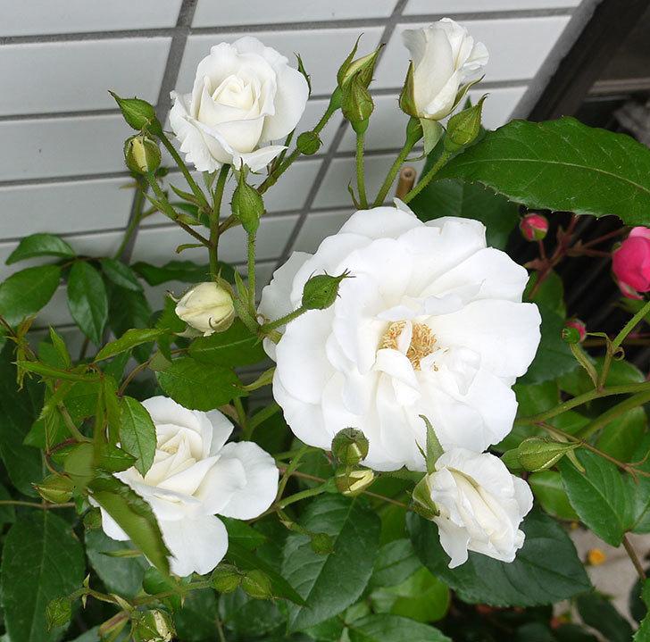 アイスバーグ(木立バラ)の花が増えてきた。2016年-1.jpg