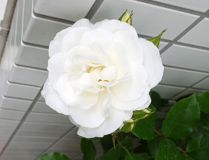 アイスバーグ(木立バラ)の花が増えてきた。2016年-5.jpg