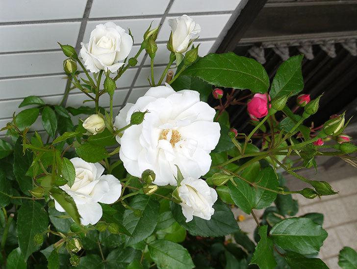 アイスバーグ(木立バラ)の花が増えてきた。2016年-6.jpg
