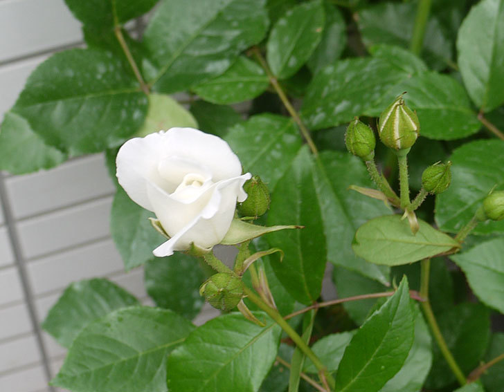 アイスバーグ(木立バラ)の花が増えてきた。2016年-7.jpg