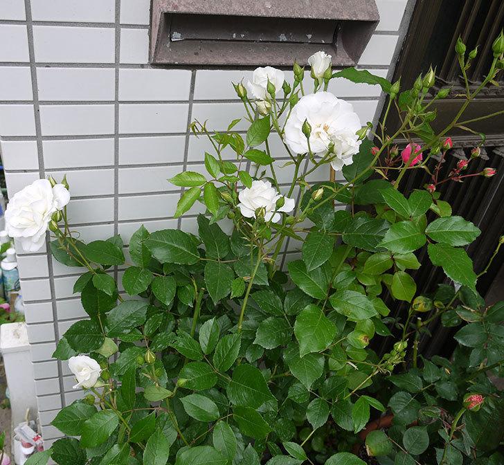 アイスバーグ(木立バラ)の花が増えてきた。2016年-8.jpg