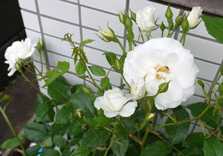 アイスバーグ(木立バラ)の花が増えてきた。2016年-9.jpg