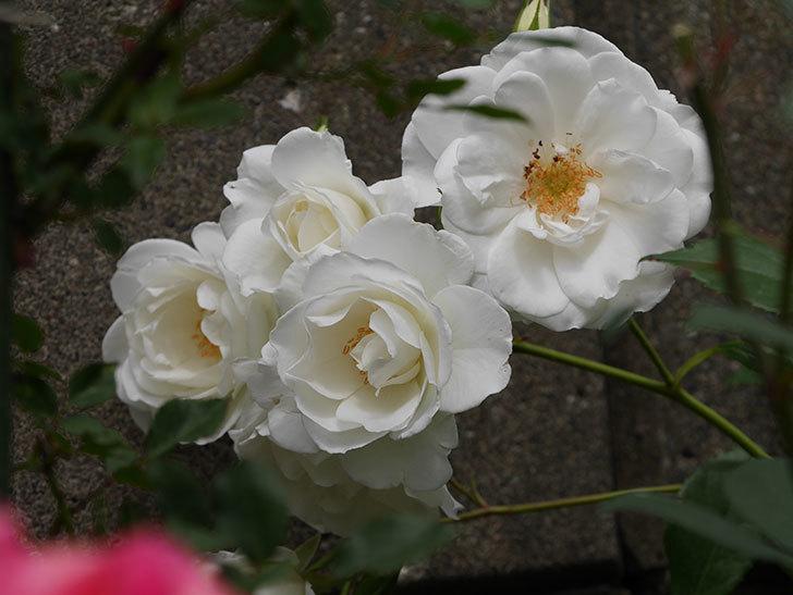 アイスバーグ(木立バラ)の花が増えて来た。2019年-1.jpg