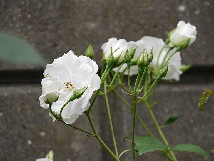 アイスバーグ(木立バラ)の花が増えて来た。2019年-10.jpg