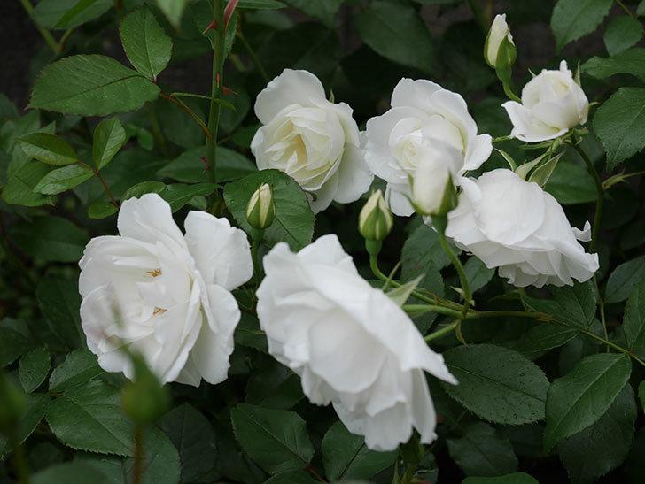 アイスバーグ(木立バラ)の花が増えて来た。2019年-11.jpg