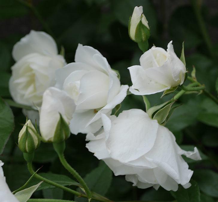 アイスバーグ(木立バラ)の花が増えて来た。2019年-12.jpg