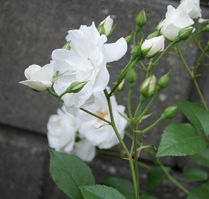 アイスバーグ(木立バラ)の花が増えて来た。2019年-15.jpg
