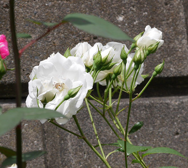 アイスバーグ(木立バラ)の花が増えて来た。2019年-2.jpg